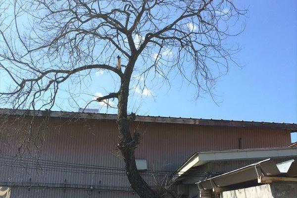 天童 J様枯れ木伐採作業